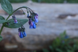 Mountain bluebells in Logan Canyon. Photo by Katie Seamons.