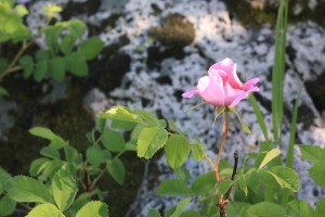 A wild rose in Logan Canyon. Photo by Katie Seamons.